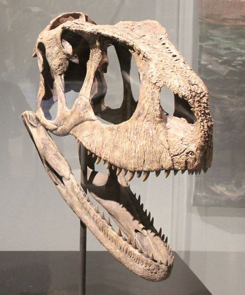Rugops skull.jpg