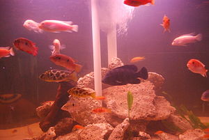 English: Tropical fish in a tank at the aquari...