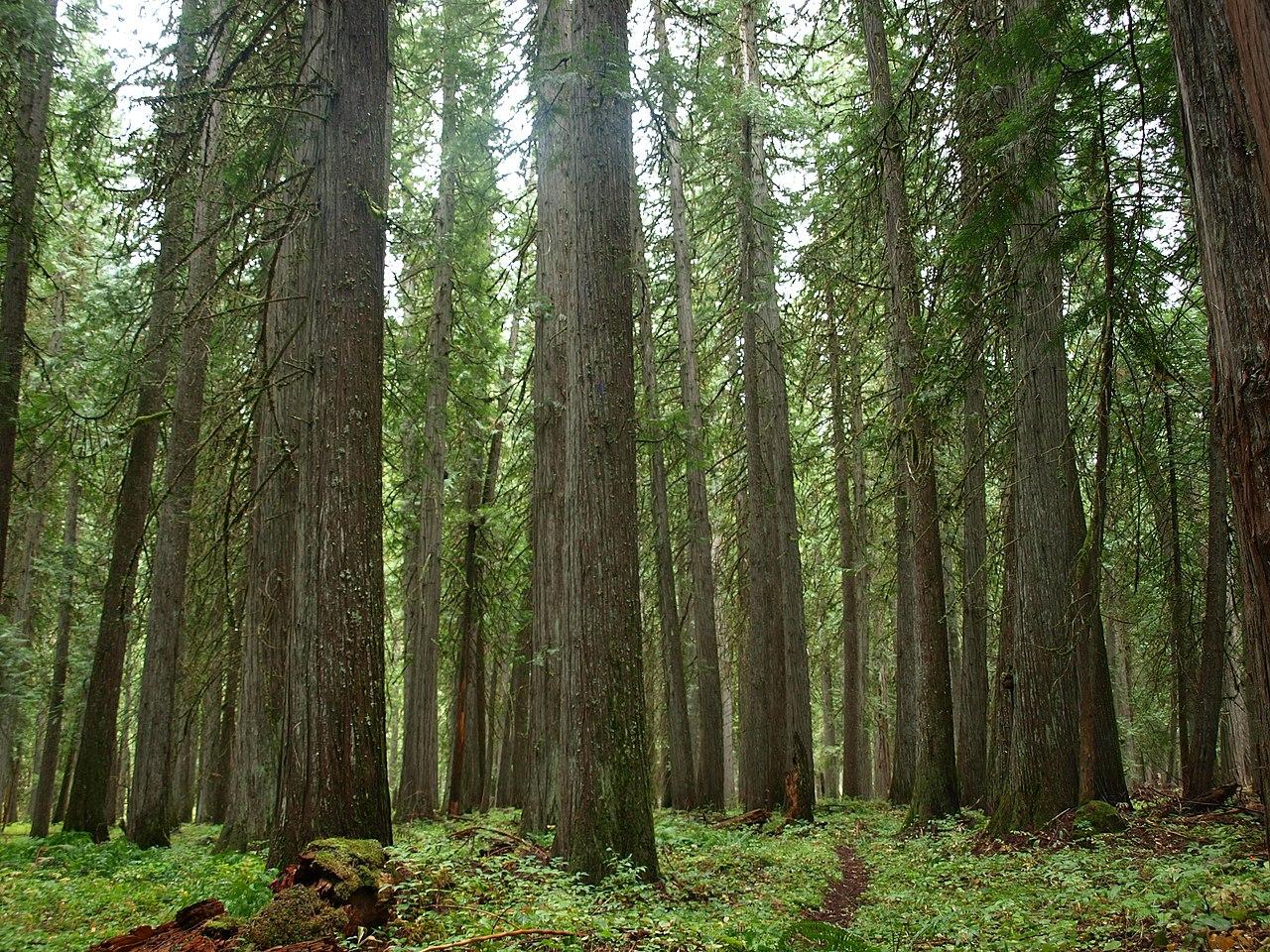 File Western Redcedar Grove Moose Creek Selway Bitteroot