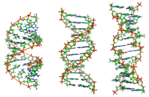 From left to right, the structures of A-, B- and Z-DNA