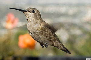 English: Female Anna's Hummingbird, hovering