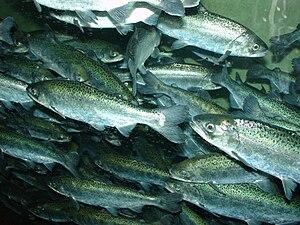 Chinook salmon, Oncorhynchus tshawytscha