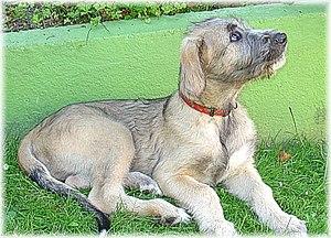 Arkin's, chiot Irish Wolfhound, propr. L. et S...