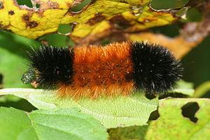 Lepidoptera - Arctiidae - Pyrrharctia isabella...