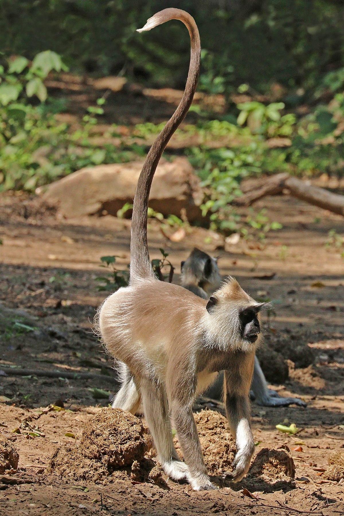 Tufted Gray Langur Wikipedia
