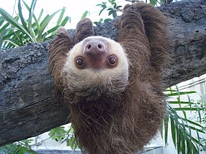English: Two toed sloth named Herman, taken at...