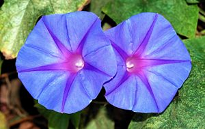 Twin flowers of Ipomoea acuminata