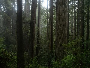 Coast Redwood temperate rainforest of Prairie ...
