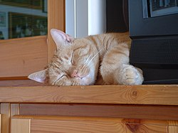 Esemplare adulto di gatto domestico di razza Europea con pelo corto. Dopo i Soriani sono la razza più accettata come gatto domestico