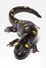 Adult Spotted Salamander