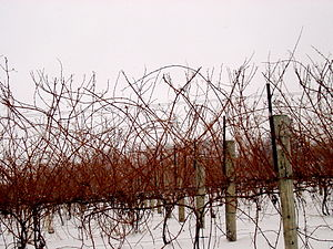 An example of what grapevines look like before...