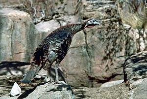Despite its distinct appearance, the Wild Turk...