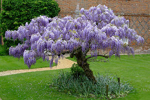 Wisteria at the Vyne