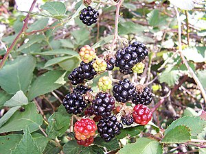 Blackberry fruits14