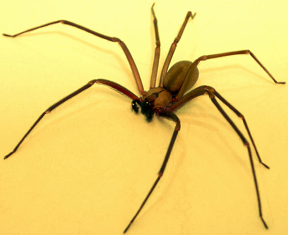 Brown Recluse via Wikimedia Commons