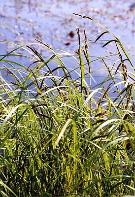 Schlank-Segge (Carex acuta)