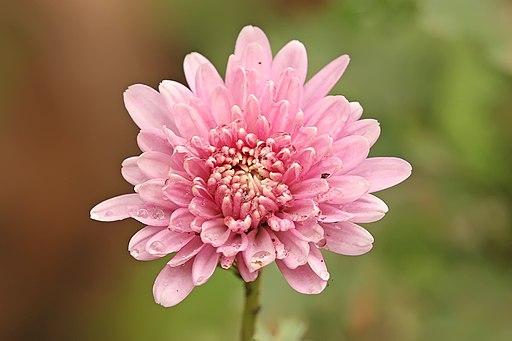 Chrysanthemum sp