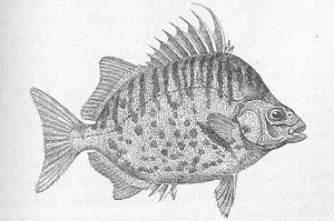 Punktstreifen Argusfisch Wikipedia