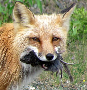 English: Fox with prey, Canada Magyar: Kanadai...
