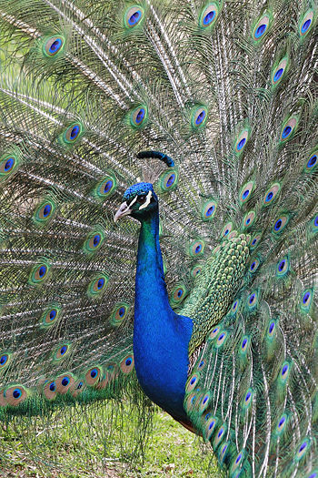 https://i2.wp.com/upload.wikimedia.org/wikipedia/commons/thumb/b/b3/Peacock_front02_-_melbourne_zoo.jpg/350px-Peacock_front02_-_melbourne_zoo.jpg