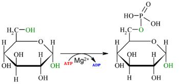 Reaction-Glucose-Glucose-6P oc.png