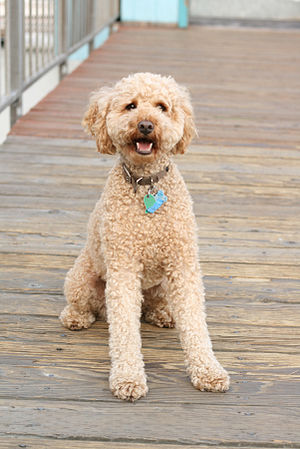 A three-year-old labradoodle.