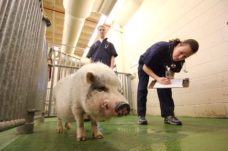 Hire the proper vet for your potbelly pig