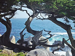 Cupressus macrocarpa (Monterey Cypress) in Peb...