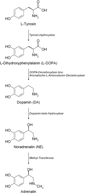 Biosynthesis of catecholamines adrenaline/epin...