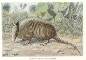 Lithograph of a nine-banded armadillo from the...