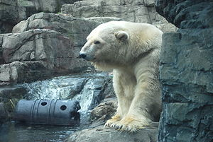 A polar bear at the Central Park Zoo in Manhat...
