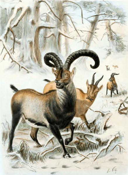 File:Pyrenean Ibex.png