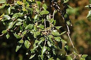 Cork Oak (Quercus suber), Villelongue dels Mon...