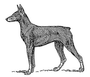 English: Line art drawing of a Doberman Pinscher.