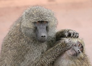 An adult monkey, the Olive Baboon (Papio anubi...