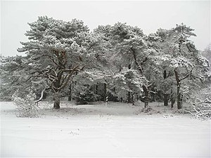 English: Hindhead Common in the snow Several i...