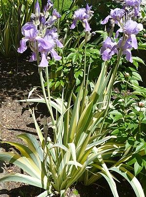 Español: Iris pallida 'Variegata' (= 'Aureo-Va...