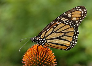 A Monarch Butterfly (Danaus plexippus) on a Pu...