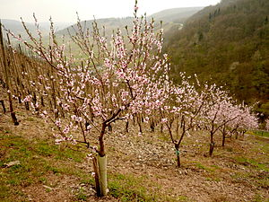 English: Kind of peach growing in Mosel valley
