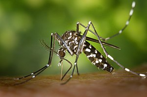 Asian tiger mosquito, Aedes albopicts, beginni...