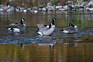 Geese Standing in Spokane River, near Spokane,...
