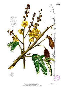 Soga, Peltophorum pterocarpummenurut Blanco