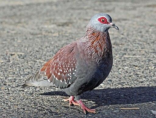 https://i2.wp.com/upload.wikimedia.org/wikipedia/commons/thumb/b/b6/Speckled_Pigeon_RWD1.jpg/512px-Speckled_Pigeon_RWD1.jpg
