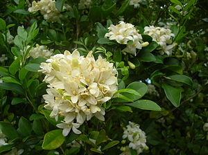 English: Murraya paniculata (flowers). Locatio...