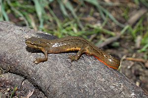 English: Smooth Newt or Common Newt, Lissotrit...