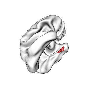 English: Entorhinal cortex (red) was thinnest ...