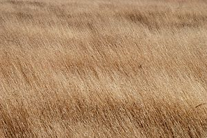 Dry harvest-field of Aegilops sp.
