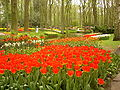 Keukenhof tulips.JPG