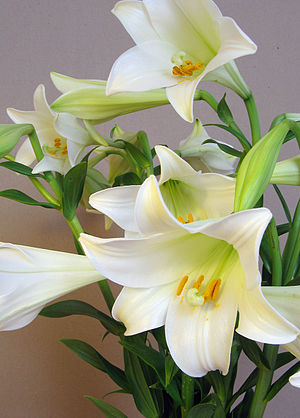 } Longi lily (Lilium longiflorum) also known a...