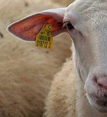 Microchip RFID ditanamkan juga di binatang, seperti pada kambing dan domba